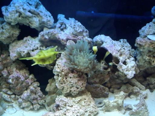 Getting anemone for my maroon clown! (PICS UP!!!) Downsi15