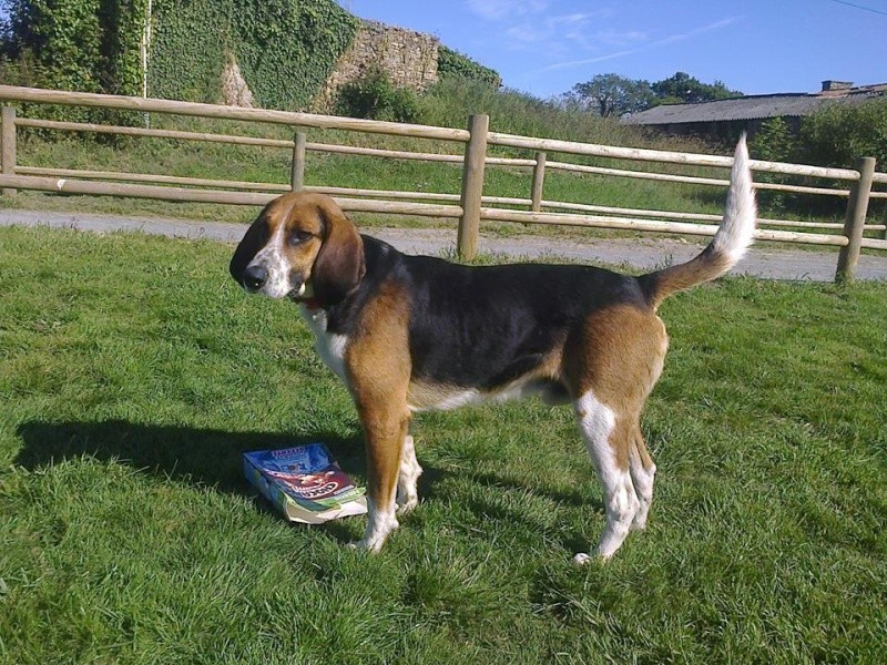 ATHOS type beagle harrier 3 ans (ASSO GALIA 85) 10435410