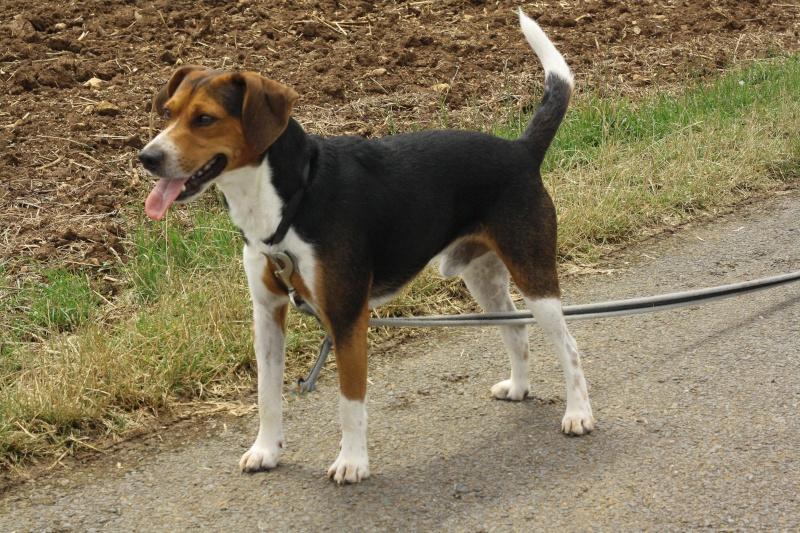 GIPSY croisé beagle 3 ans (ASSO GALIA 85) Img_8210