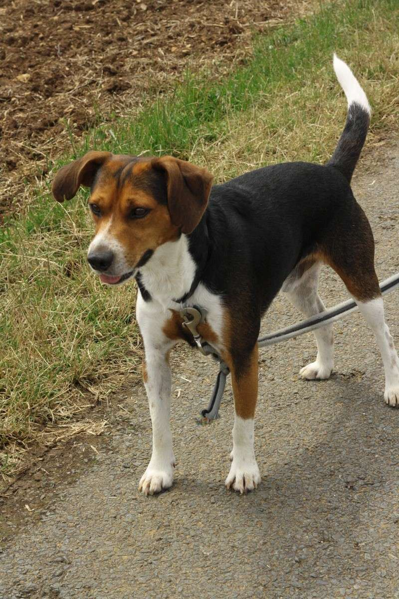 GIPSY croisé beagle 3 ans (ASSO GALIA 85) Img_8212