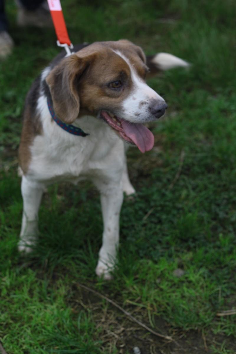 BERLIOZ croisé beagle 9 ans (ASSO GALIA 85) Img_9722