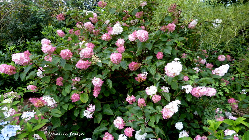 Hydrangea paniculata Vanille et Fraise ( Vanilla Strawberry ) - Page 2 P1300213