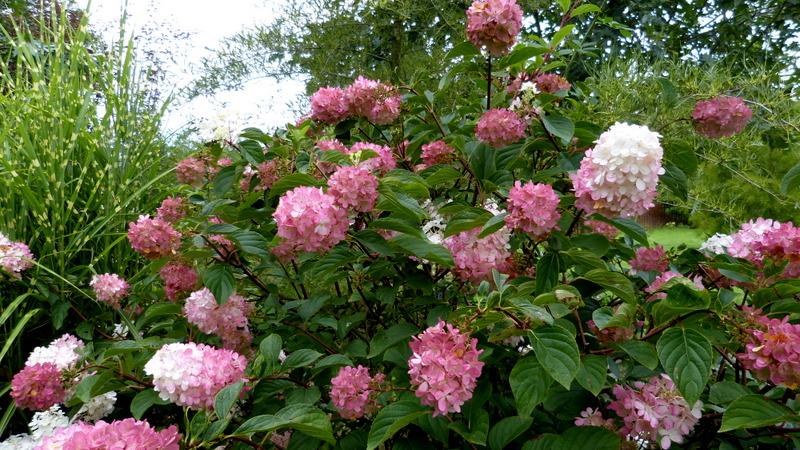 Hydrangea paniculata Vanille et Fraise ( Vanilla Strawberry ) - Page 2 P1300214