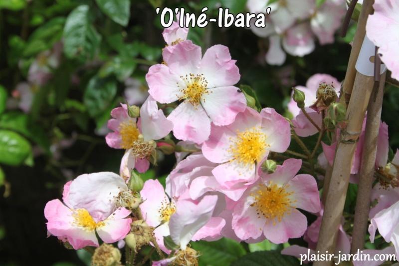 """Mela Rosa """"Plein feu sur les roses"""" 14-15 juin 2014 - Page 2 Ob_3e010"""