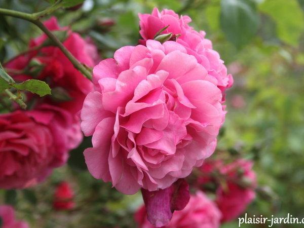 """Mela Rosa """"Plein feu sur les roses"""" 14-15 juin 2014 - Page 2 Ob_4e310"""