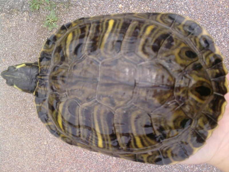 Identification des tortues de Lindsey... Croky_10