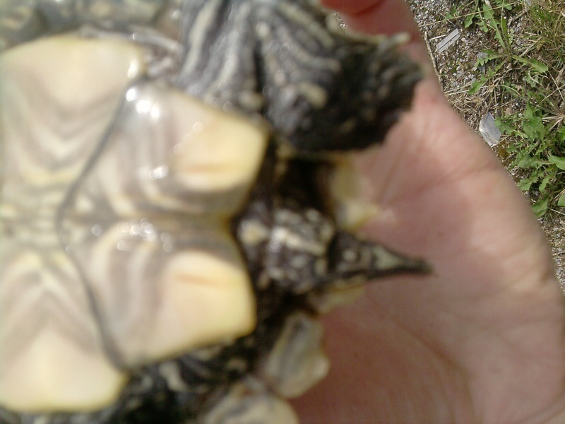 Identification des tortues de Lindsey... Grizou11