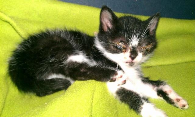Hercule, chaton aveugle 10386210