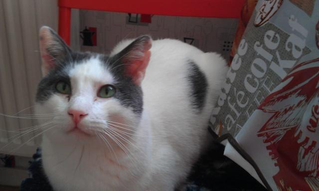 ZEUS, chat blanc et gris Imag6113