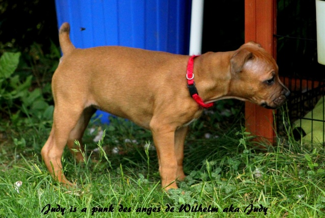 "Chiots Staffordshire Bull Terrier LOF ""Des Anges de Wilhelm"" - 2014 - Page 4 Judy10"