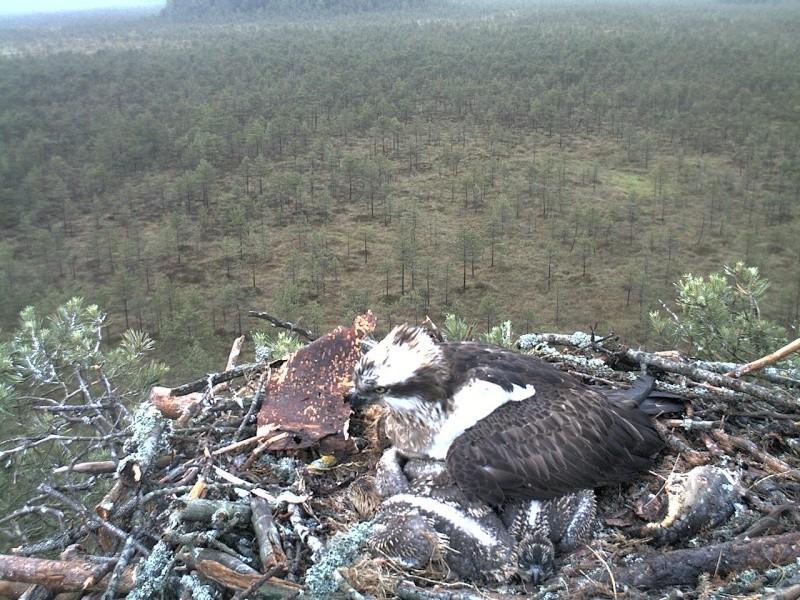 Latvian Osprey Nest ~ 2014 ~ Pērkons & Lauma - Page 2 2014-028