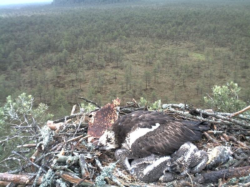 Latvian Osprey Nest ~ 2014 ~ Pērkons & Lauma - Page 2 2014-029