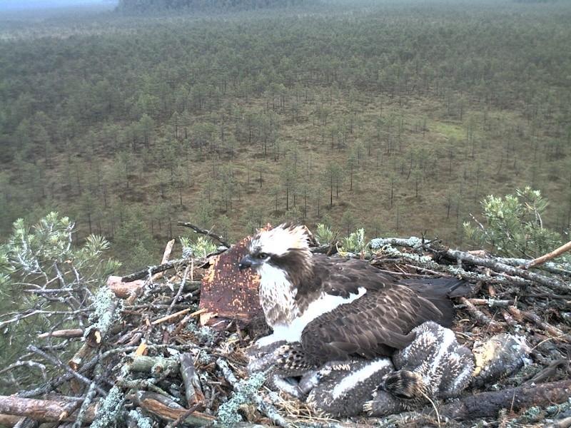 Latvian Osprey Nest ~ 2014 ~ Pērkons & Lauma - Page 2 2014-030