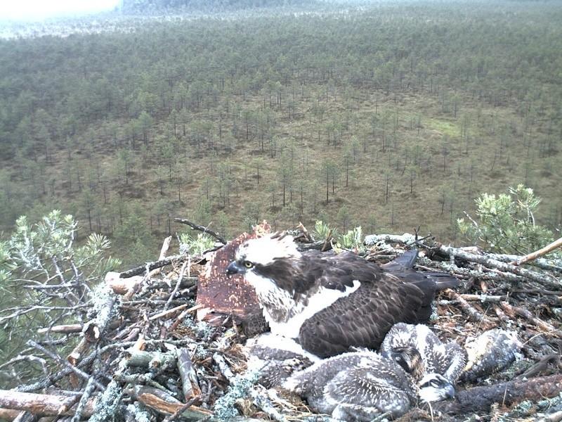 Latvian Osprey Nest ~ 2014 ~ Pērkons & Lauma - Page 2 2014-031