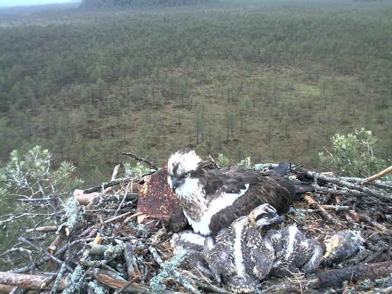 Latvian Osprey Nest ~ 2014 ~ Pērkons & Lauma - Page 2 2014-032