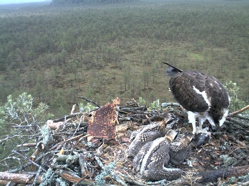 Latvian Osprey Nest ~ 2014 ~ Pērkons & Lauma - Page 2 2014-033