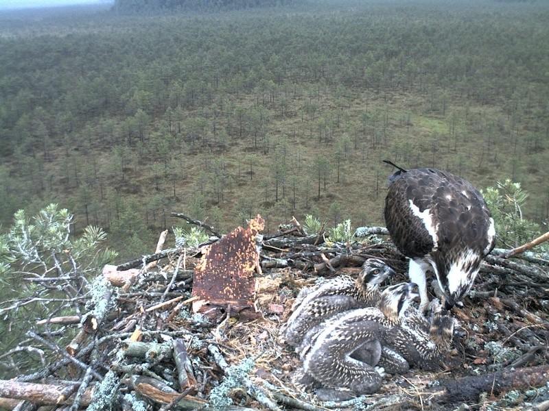 Latvian Osprey Nest ~ 2014 ~ Pērkons & Lauma - Page 2 2014-034