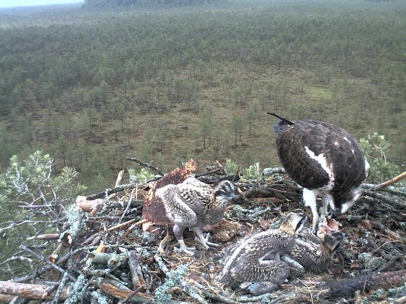 Latvian Osprey Nest ~ 2014 ~ Pērkons & Lauma - Page 2 2014-035