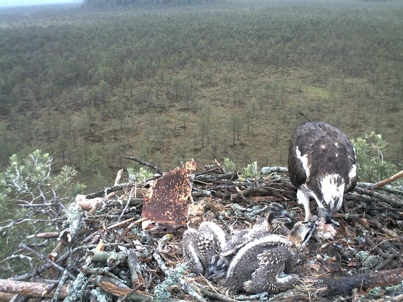 Latvian Osprey Nest ~ 2014 ~ Pērkons & Lauma - Page 2 2014-036