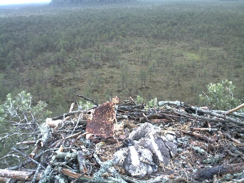Latvian Osprey Nest ~ 2014 ~ Pērkons & Lauma - Page 2 2014-041