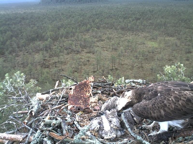Latvian Osprey Nest ~ 2014 ~ Pērkons & Lauma - Page 2 2014-042