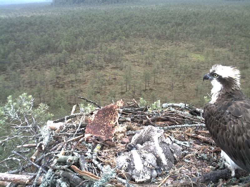 Latvian Osprey Nest ~ 2014 ~ Pērkons & Lauma - Page 2 2014-043