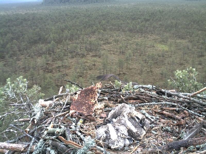 Latvian Osprey Nest ~ 2014 ~ Pērkons & Lauma - Page 2 2014-044