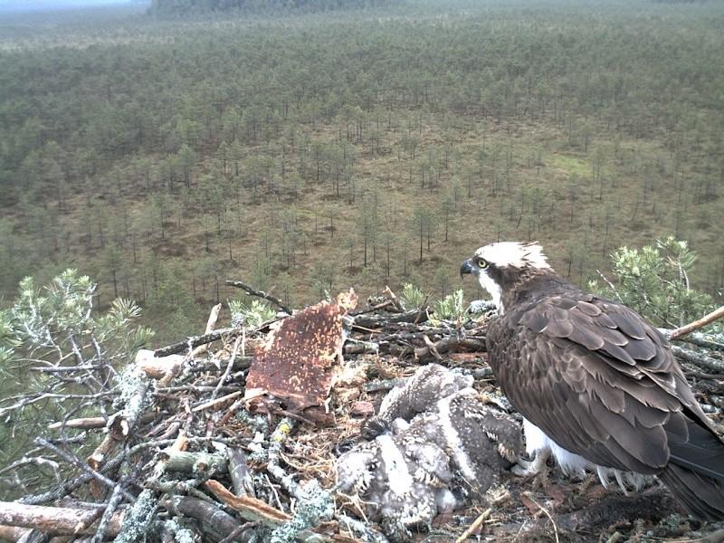 Latvian Osprey Nest ~ 2014 ~ Pērkons & Lauma - Page 2 2014-045