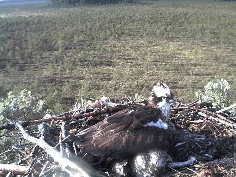 Latvian Osprey Nest ~ 2014 ~ Pērkons & Lauma - Page 39 2014-738