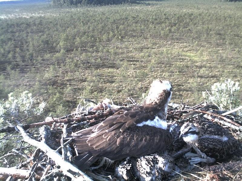 Latvian Osprey Nest ~ 2014 ~ Pērkons & Lauma - Page 39 2014-739