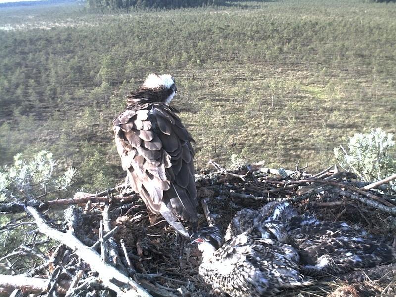 Latvian Osprey Nest ~ 2014 ~ Pērkons & Lauma - Page 39 2014-740