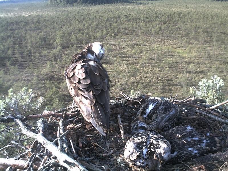 Latvian Osprey Nest ~ 2014 ~ Pērkons & Lauma - Page 39 2014-743