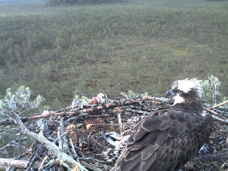 Latvian Osprey Nest ~ 2014 ~ Pērkons & Lauma - Page 39 2014-745