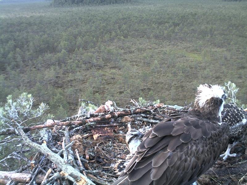 Latvian Osprey Nest ~ 2014 ~ Pērkons & Lauma - Page 39 2014-747