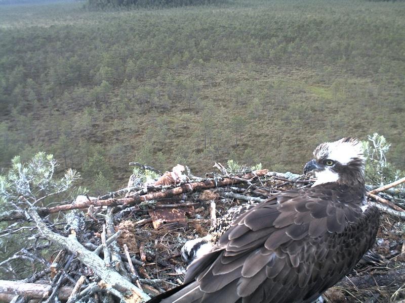 Latvian Osprey Nest ~ 2014 ~ Pērkons & Lauma - Page 39 2014-748