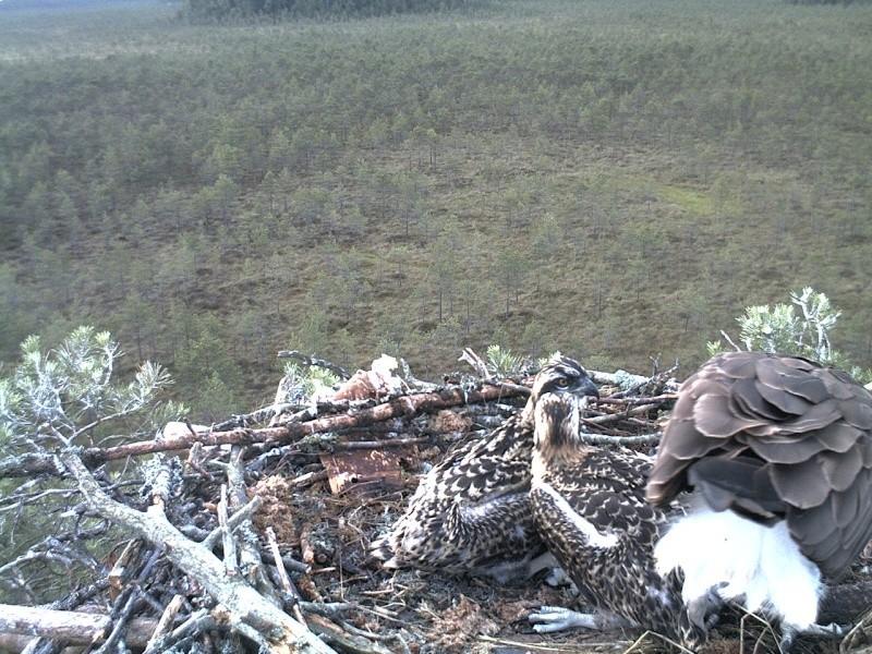 Latvian Osprey Nest ~ 2014 ~ Pērkons & Lauma - Page 39 2014-749