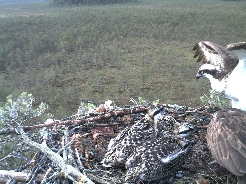 Latvian Osprey Nest ~ 2014 ~ Pērkons & Lauma - Page 39 2014-750