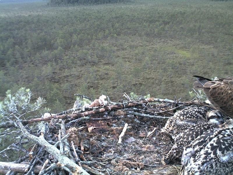 Latvian Osprey Nest ~ 2014 ~ Pērkons & Lauma - Page 40 2014-754