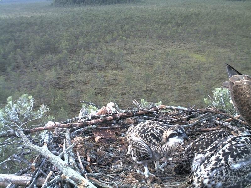 Latvian Osprey Nest ~ 2014 ~ Pērkons & Lauma - Page 40 2014-755