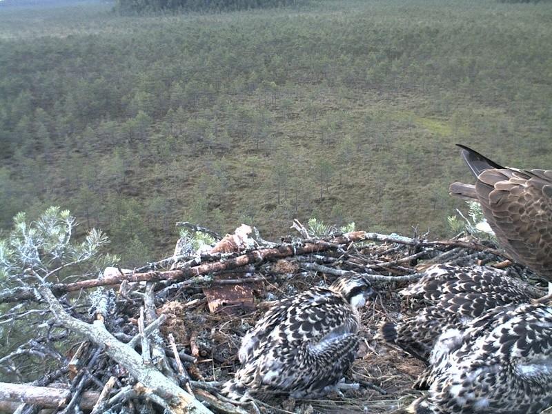 Latvian Osprey Nest ~ 2014 ~ Pērkons & Lauma - Page 40 2014-757