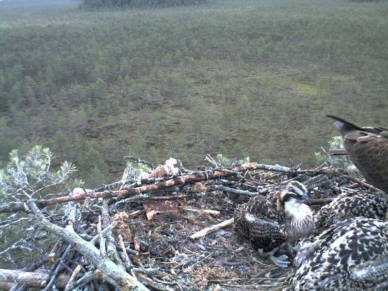 Latvian Osprey Nest ~ 2014 ~ Pērkons & Lauma - Page 40 2014-759