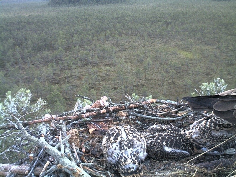 Latvian Osprey Nest ~ 2014 ~ Pērkons & Lauma - Page 40 2014-760