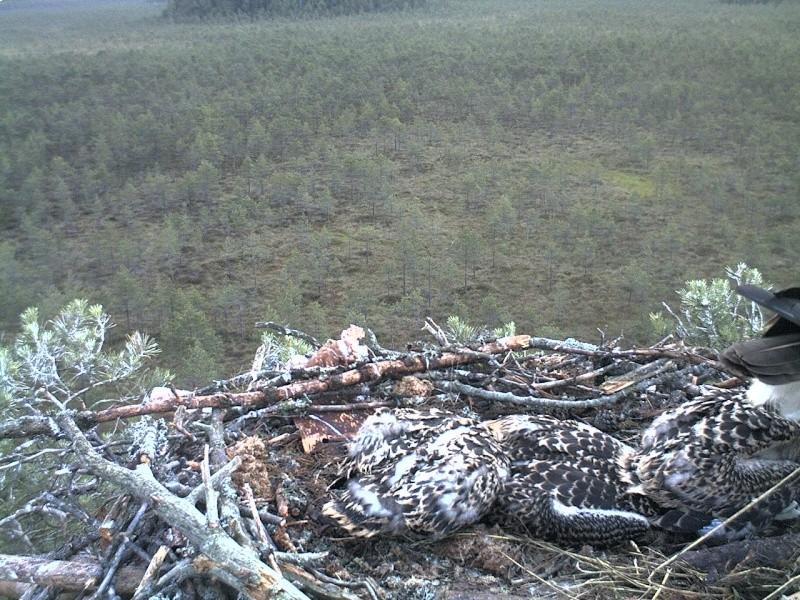 Latvian Osprey Nest ~ 2014 ~ Pērkons & Lauma - Page 40 2014-761