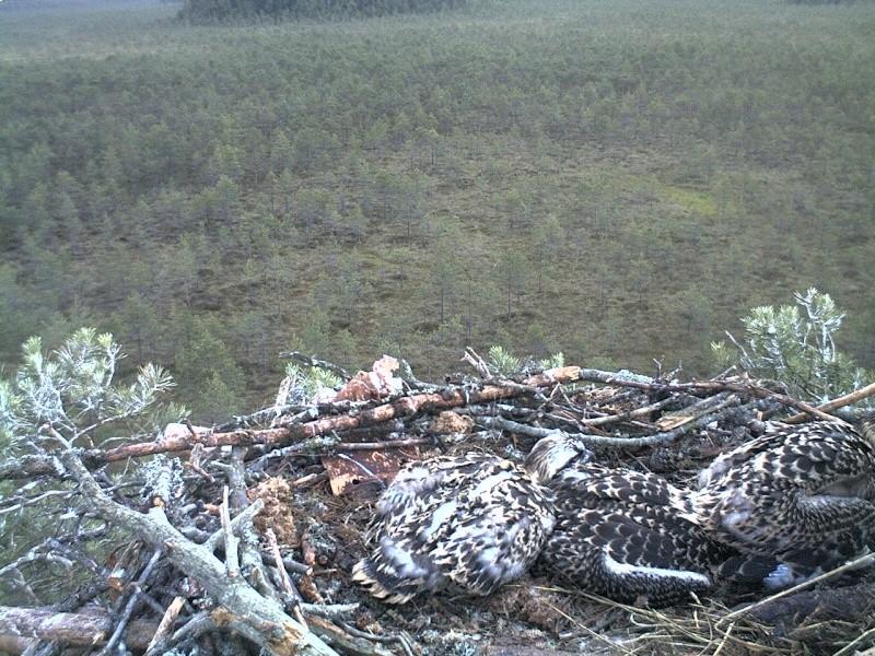 Latvian Osprey Nest ~ 2014 ~ Pērkons & Lauma - Page 40 2014-762