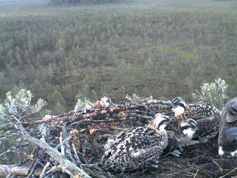 Latvian Osprey Nest ~ 2014 ~ Pērkons & Lauma - Page 40 2014-763