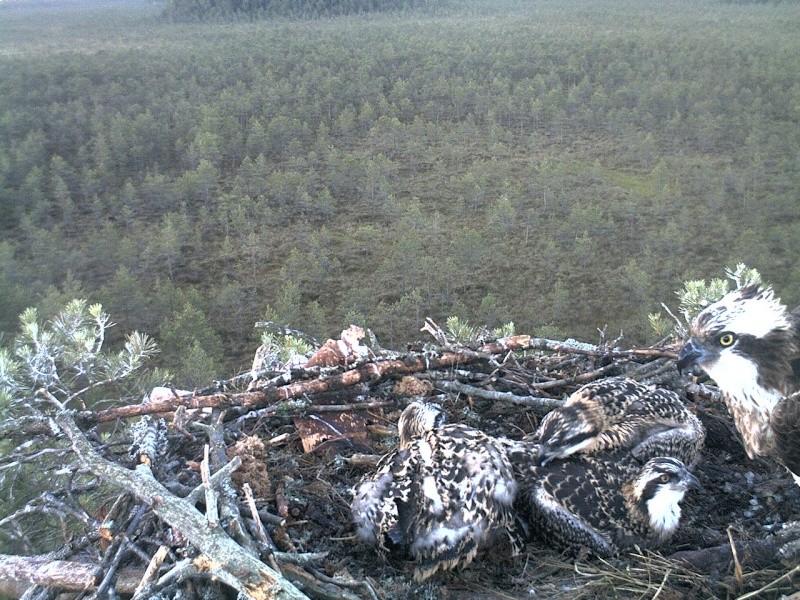Latvian Osprey Nest ~ 2014 ~ Pērkons & Lauma - Page 40 2014-764
