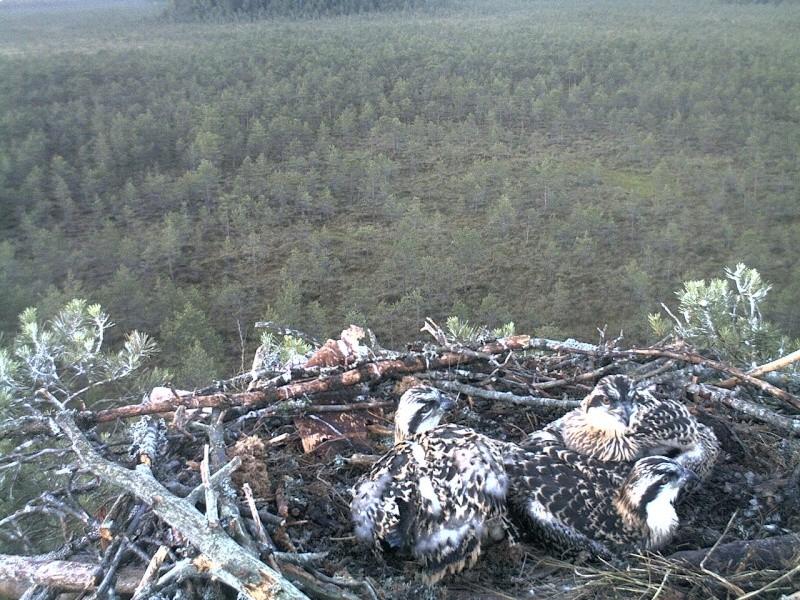 Latvian Osprey Nest ~ 2014 ~ Pērkons & Lauma 2014-765