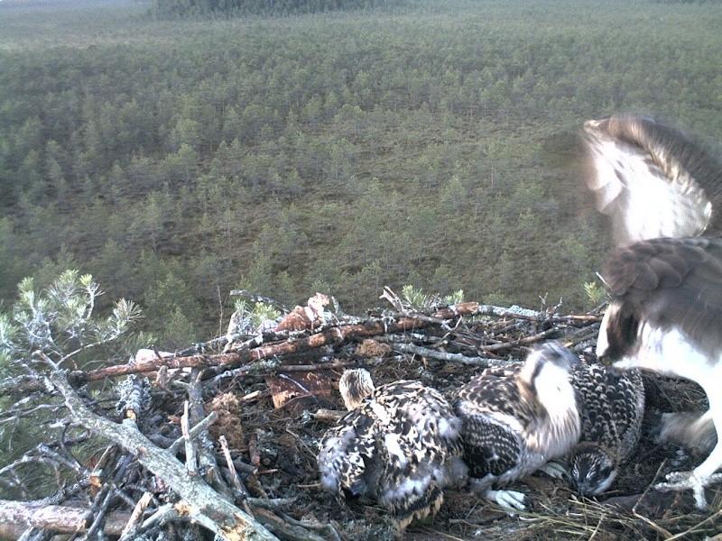 Latvian Osprey Nest ~ 2014 ~ Pērkons & Lauma 2014-766