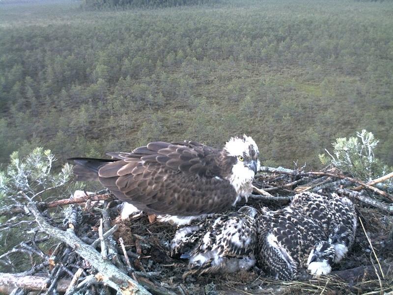 Latvian Osprey Nest ~ 2014 ~ Pērkons & Lauma 2014-767