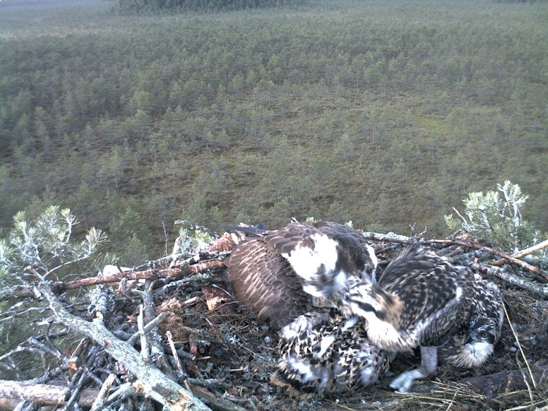 Latvian Osprey Nest ~ 2014 ~ Pērkons & Lauma 2014-768